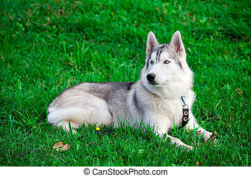 Siberian Husky - Portrait of a young blue-eyed Siberian ...