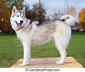 Portrait of a young blue-eyed Siberian Husky Dog