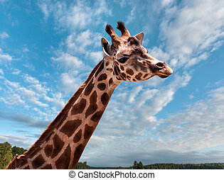 Portrait of a young giraffe on nature background