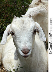 Portrait of a Young Goat