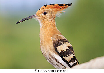 Portrait of a young hoopoe
