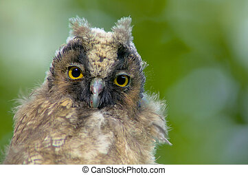 Portrait of a young long-eared owl