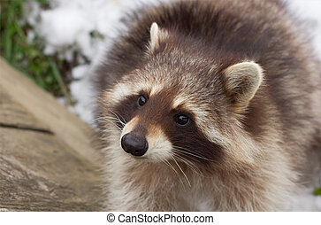 portrait of a young male raccoon close up