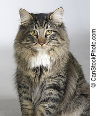 Norwegian Forest Cat - portrait of a young Norwegian Forest...