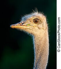 Portrait of a Young Ostrich Bird