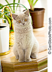 British Shorthair kitty - portrait of a young small British ...