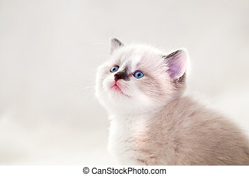 portrait of a young small persian kitty