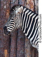 Portrait of a zebra close