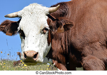 Abondance cow in the French Alps
