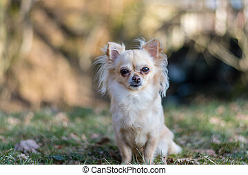 Portrait of adorable small chihuahua dog sitting in the grass and looking around