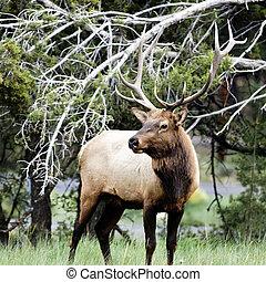 Portrait of adult deer