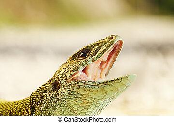 portrait of aggressive Lacerta viridis ready to bite, male...