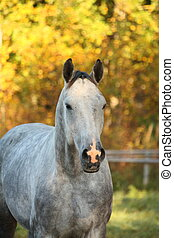 Portrait of akhal-teke horse in autumn