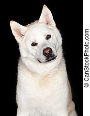 Portrait Of Akita Dog