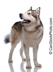 Portrait of Alaskan Malamute on gray