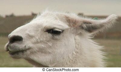 Portrait of alpaca