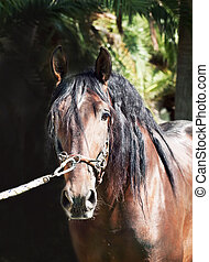 portrait of amazing Andalusian bay stallion at dark background