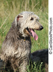 Portrait of amazing irish wolfhound - Portrait of amazing...