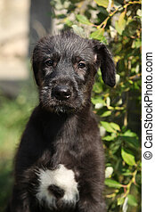 Portrait of amazing irish wolfhound puppy looking at you