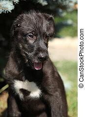 Portrait of amazing irish wolfhound puppy - Portrait of...