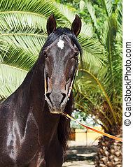 portrait of amazing purebred Andalusian bay stallion
