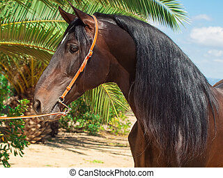 portrait of amazing purebred Andalusian bay stallion. Spain