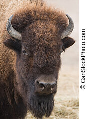Portrait of American bison or buffalo looking up