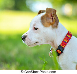 Portrait of American Staffordshire cute terrier puppy