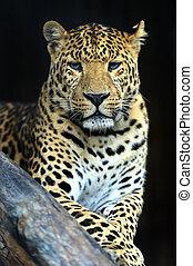 Leopard - Portrait of Amur Leopard summer