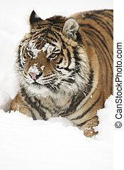 Portrait of Amur Tiger in white snow