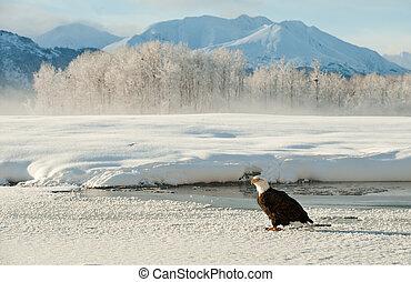Portrait of an  Adult Bald Eagle(Haliaeetus leucocephalus) on snow