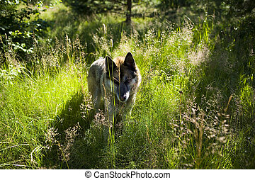 Portrait of an adult dog on the nature. Mixed Shepherd and Husky