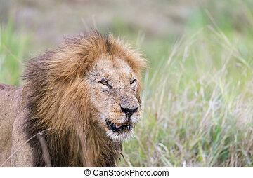 Portrait of an adult male lion in the Masai Mara