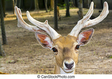 Portrait of an almost extinct deer species - Persian fallow ...