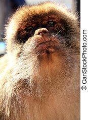 Portrait of an ape of Gibraltar
