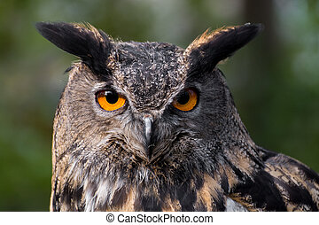 Portrait of an eagle-owl (bubo bubo) staring at the photographer