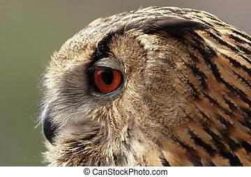 Portrait of an Eagle Owl (Bubo bubo)