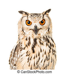 Portrait of an eagle owl with open mouth seen from the front on a white background