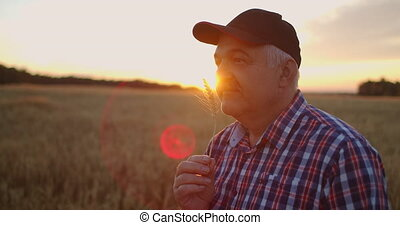 Portrait of an elderly farmer in a cap at sunset in a field of wheat sniffing brush rye. Enjoy the aroma of cereal standing in the field . High quality 4k footage