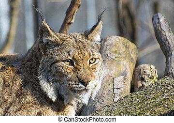 Eurasian lynx (Lynx lynx)