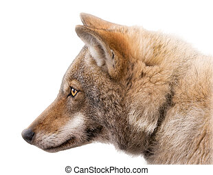 Portrait of an European grey wolf isolated