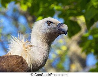 Griffon vulture (Gyps fulvus) - Portrait of an European ...