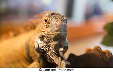 Portrait of an iguana in a zoo