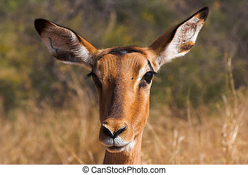Portrait of an impala - the shot was taken in the Kruger...