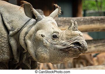 Portrait of an Indian rhinoceros in a zoo