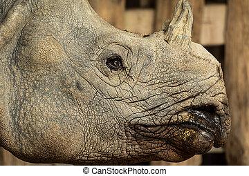 Portrait of an Indian rhinocerus in a zoo