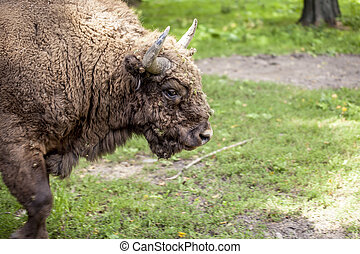 Portrait of an old bison in Bialowieza