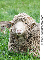 Portrait of an old ram sheep