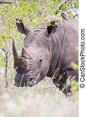 Portrait of an old rhino hiding for poachers in dense bush...