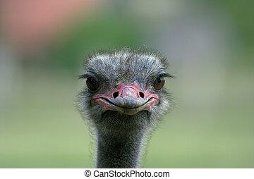Portrait of an ostrich shot on an ostrich farm in Austria